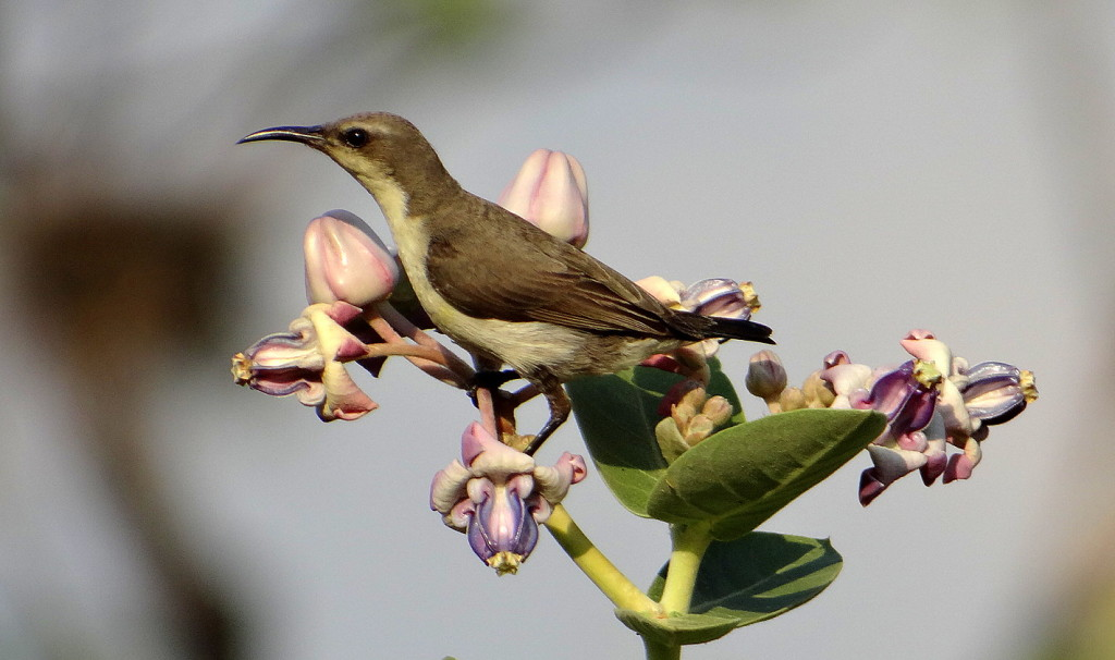 Purple-rumped Sunbird (female). A very common bird in our city...and so beautiful!