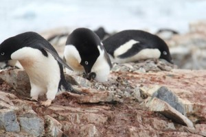 Penguins on their pebble nest